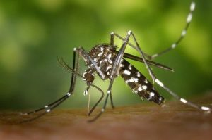 a typical mosquito that Always Green Mosquito Control will exterminate