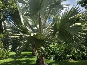 Bismarkia Palm - tree care